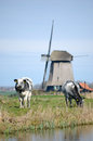 Two cows and a windmill grazing in meadow with in the background in the netherlands Royalty Free Stock Image