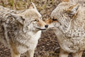 Two Coyotes Together Stock Photography
