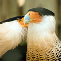 Two crested caracara bird cleaning each other Stock Photos