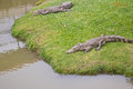 Two crocodile resting on the grass near lakeside Stock Images