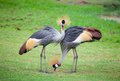 Two crowned crane Stock Image