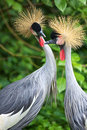 Two crowned cranes in apparent conversation Stock Photography