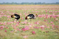 Two Crowned Cranes among Pink Flowers Royalty Free Stock Photo