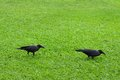 Two crows. Stock Image