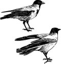 Two crows vector rdrawing of the big drows Stock Image