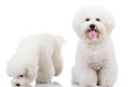 Two curious bichon frise puppy dogs, Royalty Free Stock Photo