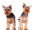 Two curious little yorkshire puppy dogs standing Stock Photo