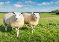 Two curiously looking sheep female posing in front of the camera in a dutch rural landscape Stock Photos