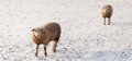 Two curiously looking sheep in the snow a snowy meadow at photographer it is almost evening and setting sun causes long shadows Stock Images