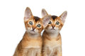 Two cute abyssinian kitten on isolated white background closeup interesting looking in camera front view Stock Image