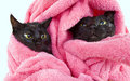 Two cute black soggy cats after a bath drying off with towel Royalty Free Stock Photography