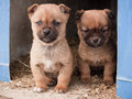Two cute brown puppies looking out from a barn mongrel in horizontal composition Stock Photos