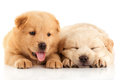 Two cute chow chow puppies isolated over white background Stock Images