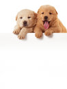 Two cute chow chow puppies isolated over white background little Stock Photo