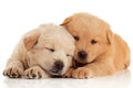 Two cute chow chow puppies isolated over white background sleeping Royalty Free Stock Photo