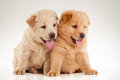 Two cute chow chow puppies over white background Royalty Free Stock Photography