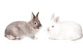 Two cute cuddly fluffy easter bunnies sitting nose to nose in profile one white and one grey isolated on a white background Stock Photography