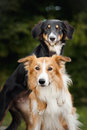 Two cute dog border collie huging together closeup Stock Image