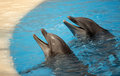 Two cute dolphins waiting for a fish during show in loro parque in tenerife spain Royalty Free Stock Photo