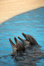 Two cute dolphins waiting for a fish during show in loro parque in tenerife spain Royalty Free Stock Photos