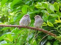 Two cute fledgling baby birds, House Sparrows, on branch.