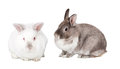 Two cute fluffy easter bunnies isolated on white with a pretty grey cottontail sitting sideways facing to the left with its little Stock Images