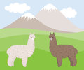 Two cute furry differently colored alpacas on a mountain meadow.