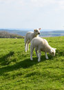 Two cute lambs baby enjoying the spring sun in north england photo taken april Stock Images