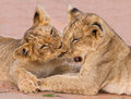 Two cute lion cubs playing on sand in the kalahari closeup Royalty Free Stock Photography