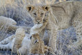 Two cute lion cubs portrait of playing together in south africa Stock Image