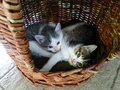 Two cute little kittens with blue eyes in a bucket Royalty Free Stock Photo