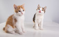 Two Cute little kittens Royalty Free Stock Photo