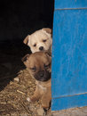 Two cute little puppies looking out from a barn mongrel in Royalty Free Stock Images