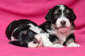 Two cute lying havanese puppies dog on a pink bedspread little are soft one looking at camera Stock Photos