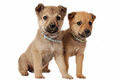 Two cute mixed breed puppies on white one male and one female puppy Royalty Free Stock Photo