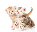 Two cute scottish kittens. isolated on white background Royalty Free Stock Photo