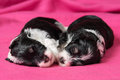 Two cute sleeping havanese puppies dog on a pink bedspread little are soft Stock Photos