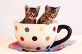 Two cute tabby kittens in giant polka dotted mug or cup Royalty Free Stock Photo