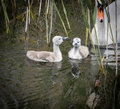 Two cygnets with adult swan keeping watch Royalty Free Stock Photo