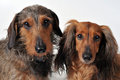 Two dachshunds Stock Photo