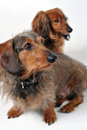Two dachshunds Stock Photos