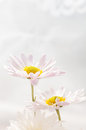 Two daisies Royalty Free Stock Photo
