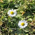 Two daisies in a meadow Royalty Free Stock Photo