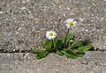 Two daisies on the sidewalk Royalty Free Stock Photo