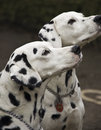 Two dalmatian dogs Stock Image