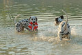 Two dalmatian dogs with water toy playing in a lake Royalty Free Stock Photo