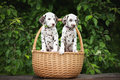 Two dalmatian puppies in a basket brown outdoors summer Stock Photo