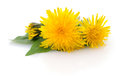 Two dandelions with leaves. Royalty Free Stock Photo