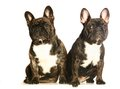 Two dark french bulldogs isolated on white Royalty Free Stock Photos
