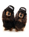 Two Dashunds with security baseball caps Royalty Free Stock Photo
